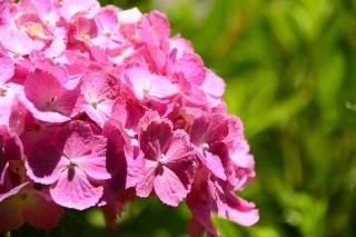 大高緑地公園 紫陽花