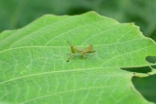 バッタ 幼虫
