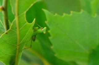 カマキリ 幼虫