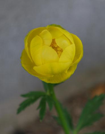トロリウスレモンクィーン