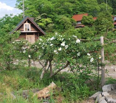 ナニワイバラと小屋