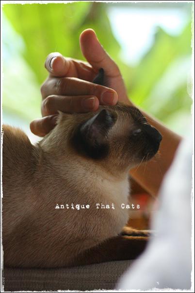 猫 cat แมว シャム猫 Siamese วิเชียรมาศ アンティークタイキャット Antique Thai Cats โบราณ タイ Thailand ไทย