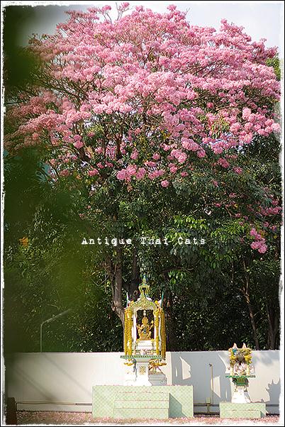 タイ桜 キダチベニウゼン チョンプー・パンティップ ชมพูพันธุ์ทิพย์ タイ Thailand ไทย