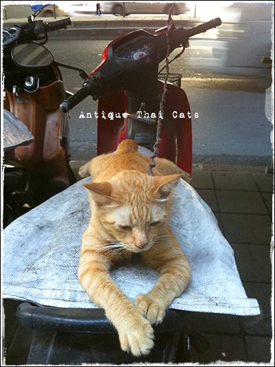 プロンポン エンポリウム 大上海酒楼 スクーター タイ ヲソト 野良猫 地域猫 stray alley cat Thailand แมว ไทย アンティークタイキャット