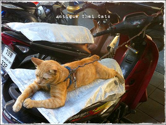プロンポン エンポリウム 大上海酒楼 スクータータイ ヲソト 野良猫 地域猫 stray alley cat Thailand แมว ไทย アンティークタイキャット
