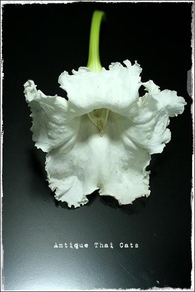 ケーナー แคนา ケーパー แคป่า D.longissima Schum D.rheedii Seem 花 flowers ดอกไม้ タイ Thai ไทย