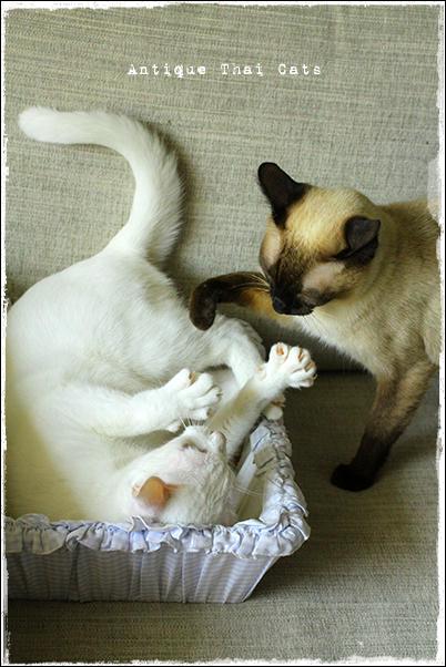猫 cat แมว カオマニー khaomanee ขาวมณี オッドアイ oddeyes ตา๒สี シャム猫 Siamese วิเชียรมาศ アンティークタイキャット Antique Thai Cats โบราณ タイ Thailand ไทย