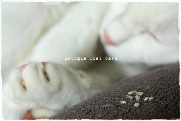 猫 cat แมว カオマニー khaomanee ขาวมณี オッドアイ oddeyes ตา๒สี アンティークタイキャット Antique Thai Cats โบราณ タイ Thailand ไทย