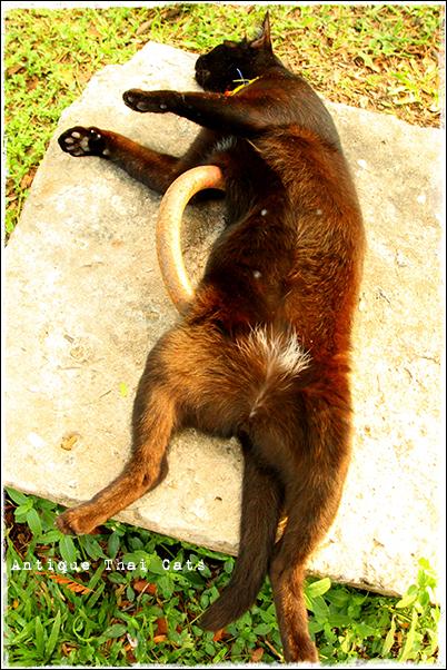 野良猫 Stray cats แมวจรจัด ヲソト猫 タイ Thai ไทย ルンピニ公園 Lumpini park สวนลุมพินี アンティークタイキャット Antique Thai Cats