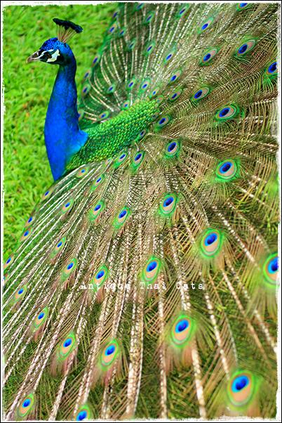 カンチャナピセーク公園 Chaloem Kanchanaphisek Park อุทยานกาญจนาภิเษก วัดเฉลิมพระเกียรติ สะพานนนทบุรี 1 ノンタブリー1橋 Nonthaburi1Bridge 孔雀 นกยูง Peacock