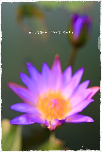 カンチャナピセーク公園 Chaloem Kanchanaphisek Park อุทยานกาญจนาภิเษก วัดเฉลิมพระเกียรติ สะพานนนทบุรี 1 サヨナライツカ ロケ地 ノンタブリー1橋 Nonthaburi1Bridge 睡蓮 Water lily ดอกบัว
