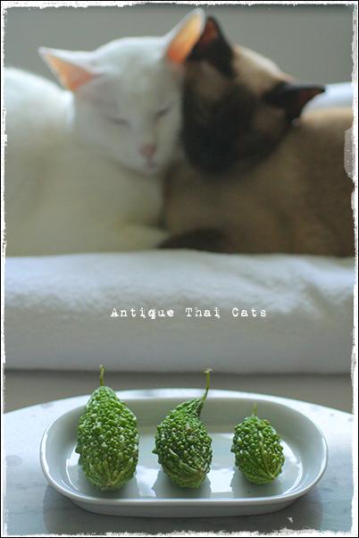 苦瓜 bitter gourd มะระขี้นก 猫 cat แมว カオマニー khaomanee ขาวมณี オッドアイ oddeyes ตา๒สี シャム猫 Siamese วิเชียรมาศ タイ Thailand ไทย