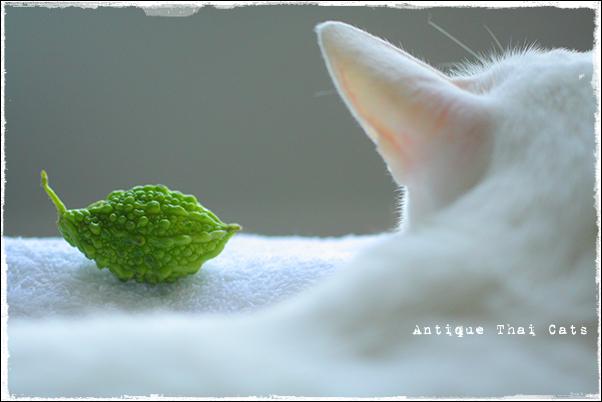 苦瓜 bitter gourd มะระขี้นก 猫 cat แมว カオマニー khaomanee ขาวมณี オッドアイ oddeyes ตา๒สี タイ Thailand ไทย