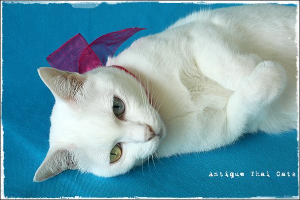 誕生日 10才 birthday 猫 cat แมว カオマニー khaomanee ขาวมณี オッドアイ