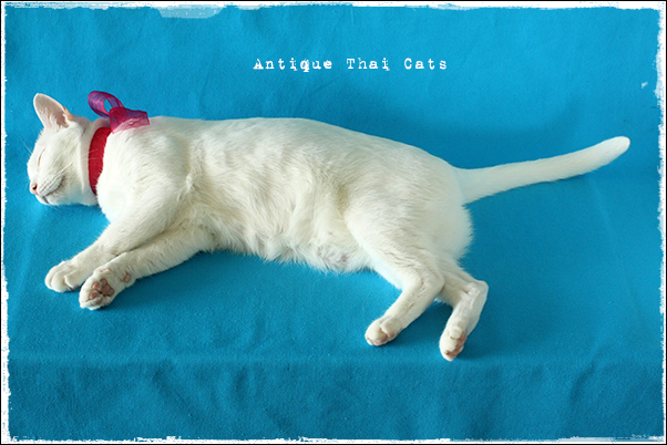 リボン ribbon โบ ピンク pink สีชมพู 誕生日 birth day วันเกิด 10 猫 cat แมว カオマニー khaomanee ขาวมณี オッドアイ oddeyes ตา๒สี タイ Thailand ไทย