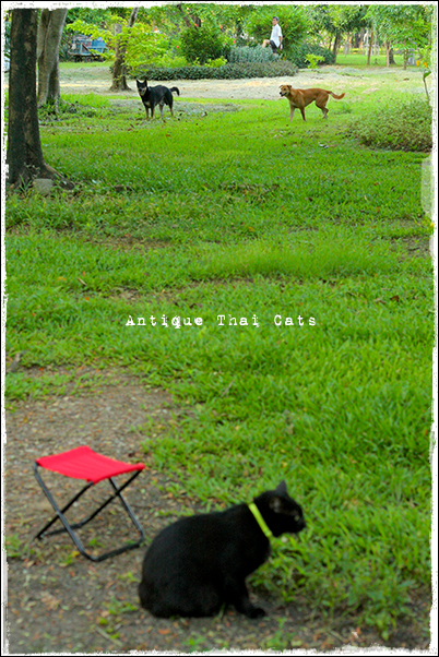 野良猫 Stray cats แมวจรจัด ヲソト猫 タイ Thai ไทย ルンピニ公園 Lumpini park สวนลุมพินี アンティークタイキャット Antique Thai Cats โบราณ