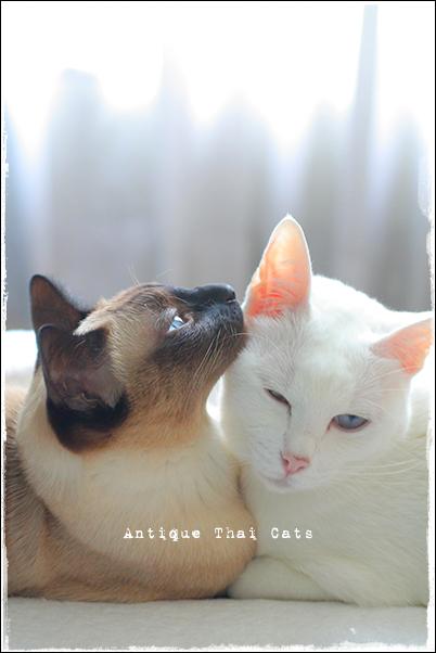 ペットホテル 一時帰国 โรงพยาบาลสัตว์บ้านหมอรักหมา マー病院 猫 cat แมว カオマニー khaomanee ขาวมณี オッドアイ oddeyes ตา๒สี シャム猫 Siamese วิเชียรมาศ タイ Thailand ไทย
