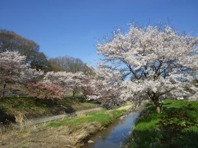 桜めぐり (5)