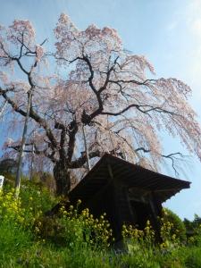 桜めぐり (10)