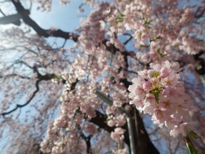 桜めぐり (12)
