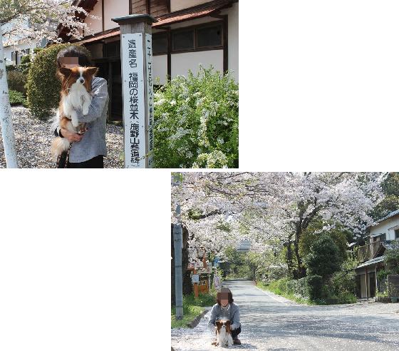 君津福岡の桜並木