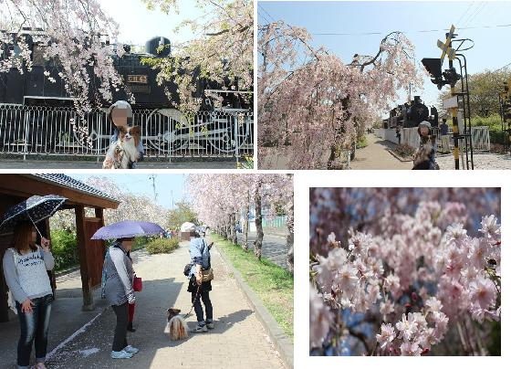喜多方しだれ桜2