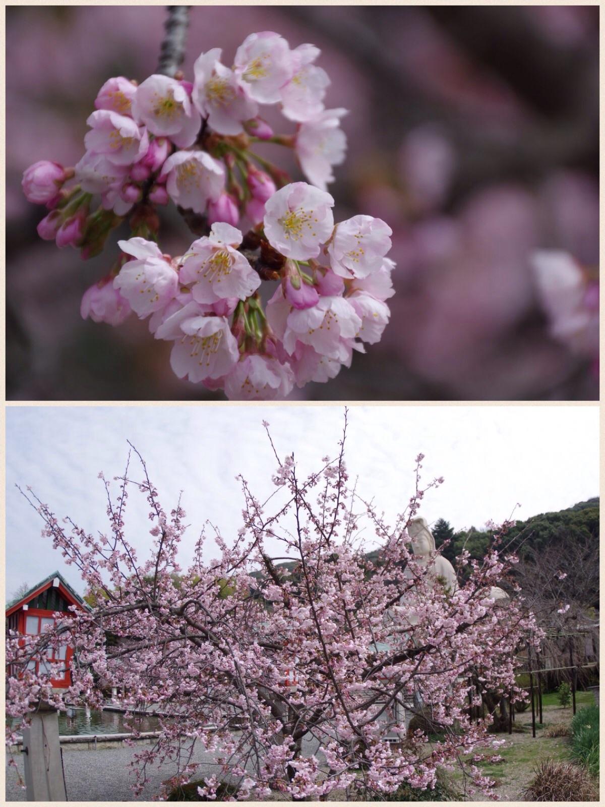 京都 霊山観音 桜