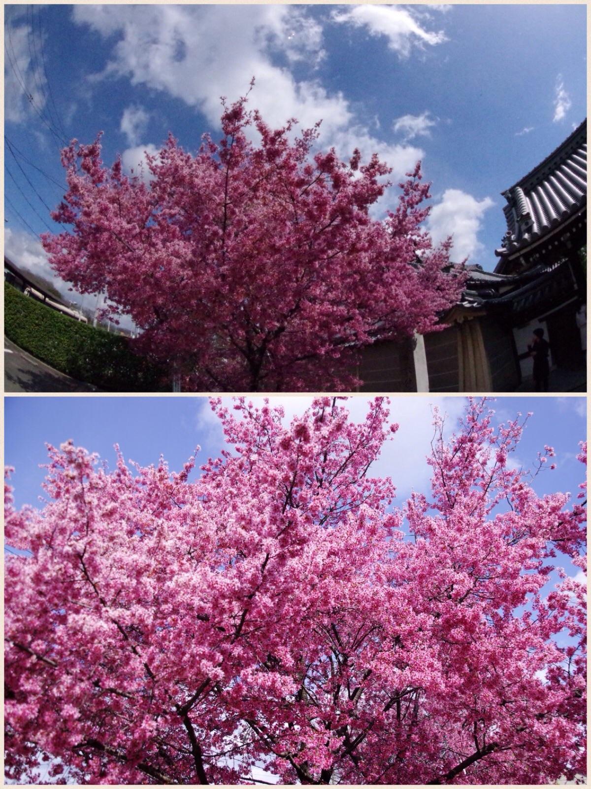 京都 長徳寺おかめ桜