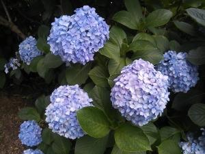 紫陽花 青