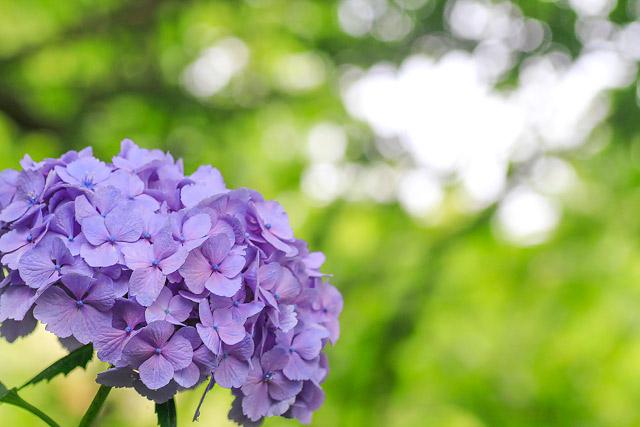 淀江 伯耆古代の丘公園 紫陽花 あじさい