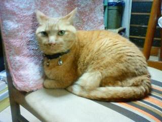 メタボ猫店長のイス横取り