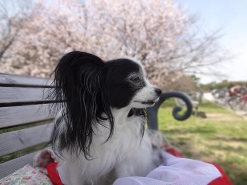 桜をぼかして