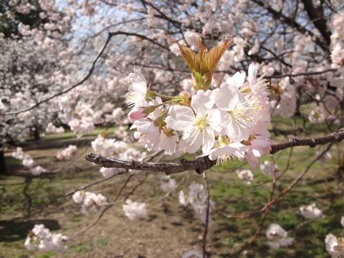 早咲きの品種