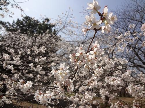 白っぽい色の早咲き桜