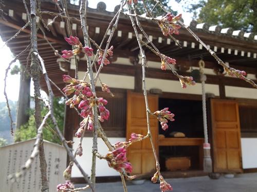 枝垂れ桜つぼみ