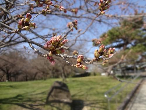 スロープ前の桜2