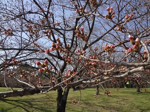 スロープ前の桜1