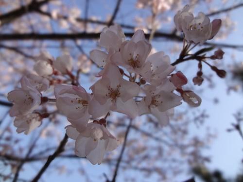 早咲きの桜の横に