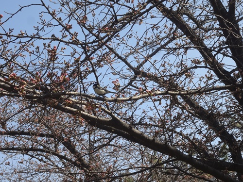 桜の枝に鳥さん