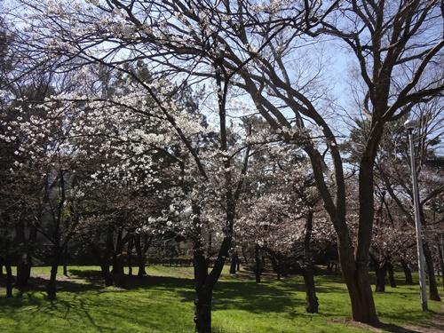 交通遊園花壇近くの桜