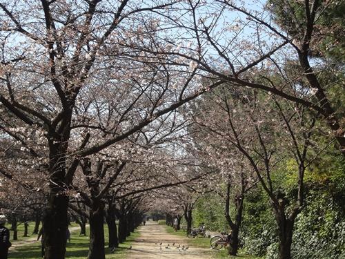 桜のトンネル入り口