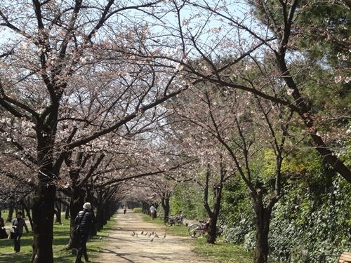 桜のトンネル入り口2