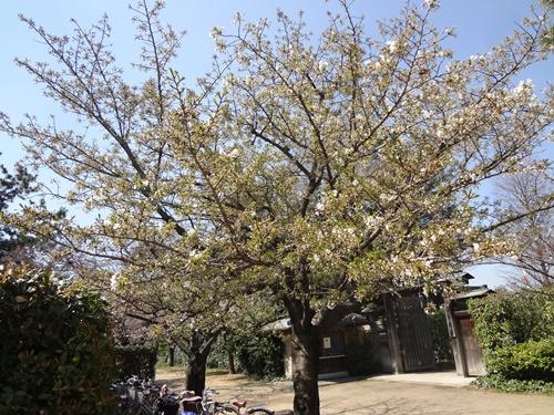 薔薇庭園前のオオシマザクラ