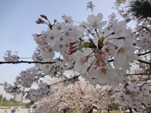 桜あつまった花びら