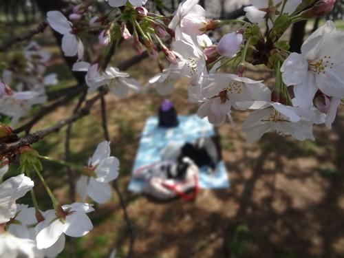 桜ごしのルビー