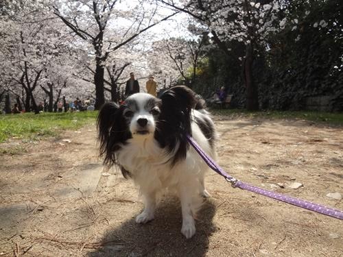 桜のトンネルとルビー