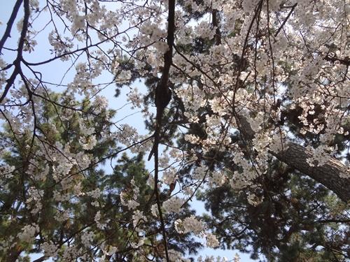 頭の上の桜