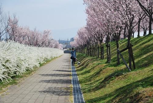 桜とユキヤナギの道