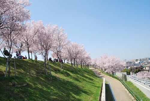 青空と桜、芝生