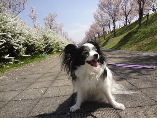 ユキヤナギと桜の道で